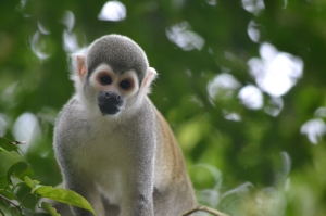 Monkey - Sucua, Ecuador
