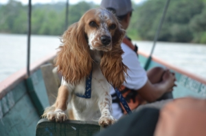 Photo: Shungu, our faithful companion riding a canoe down the Napo river.